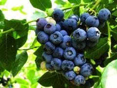 山东胶州蓝莓种植,带动村民脱贫致富