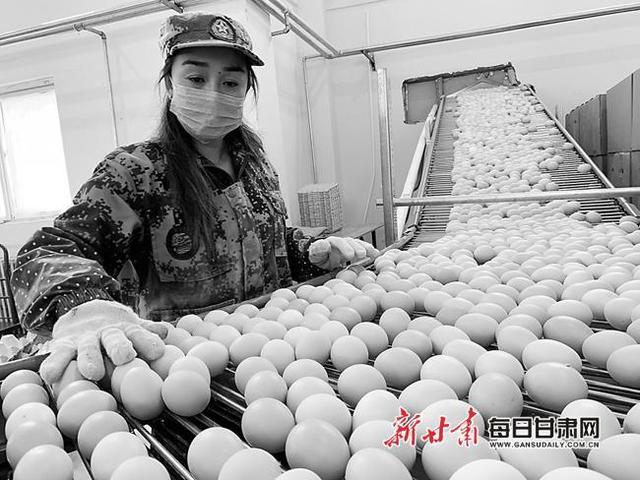 礼县金鸡产业园加工车间工人分拣鸡蛋