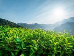 山东日照春茶产业调动村民脱贫致富