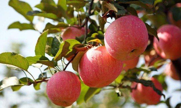 陕西建成全国最大矮砧苹果基地 宝鸡种植面积达第一