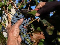 山葡萄产业带动村民脱贫致富