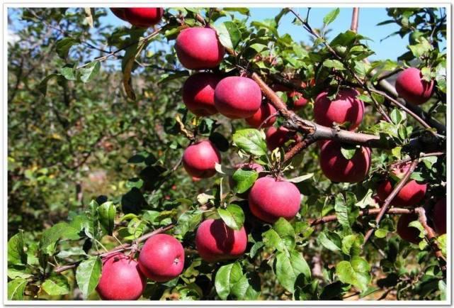 嘎拉村的苹果熟了