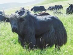 特色藏牛养殖大发展