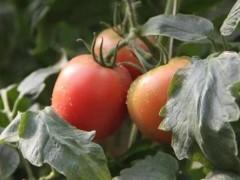 """大棚种植模式,让""""高级""""西红柿为农户带来更多收益"""