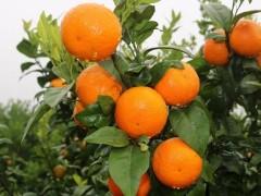 """兴庄村:""""红美人""""柑橘增收增效"""