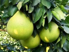 巴南接龙镇:接龙蜜柚的产业辉煌路