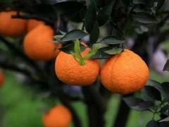 如何让柑橘增添上色,卖出价格