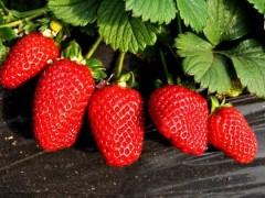 """靖安县的草莓""""账"""" 带动乡村旅游更火热"""