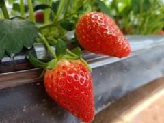 安徽含山:草莓红艳 消费扶贫解决销售难