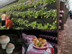 青岛:实现草莓+蘑菇的循环共生