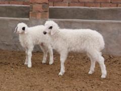 盐池县:特色优势滩羊产业 助力经济发展