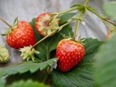 湖北武汉:当地草莓集中上市 价格跳水市民欢