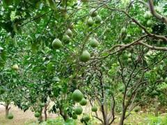 柚子结果树阶段的施肥情况