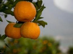 湖北宜昌:柑橘水果走进东南亚市场