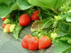 北京延庆草莓全年稳定供应 立足高端市场