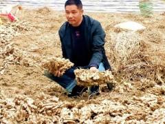 红河州西底村:生姜种植引活力 拓宽群众致富门