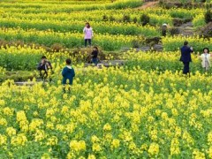 福建仙游:油菜花开引游人 产业发展助增收