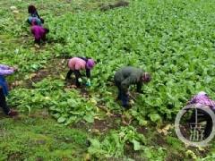 重庆:发展青菜头种植项目 村民富了 集体经济好了