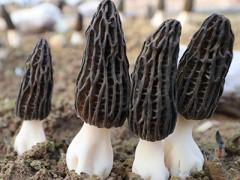丽江永胜县:羊肚菌产业有发展 增加群众致富路