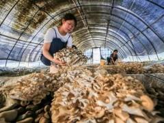 陇南迁西:种植反季节栗蘑 栗蘑之乡有新变化