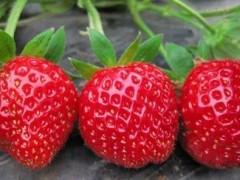 云南永仁:做大草莓产业 共筑致富前景
