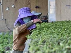 延庆大庄科乡:香草种植忙 产业发展辐射周边 实现共同致富