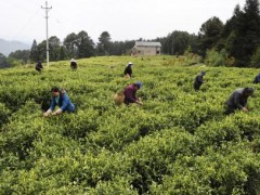 信阳市浉河区:茶叶开采忙!春茶生产紧张进行中