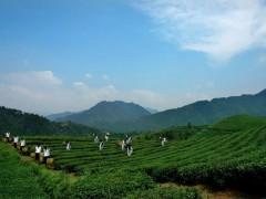绿色技术赋能贵州茶产业更生态、高质量发展,带领群众致富