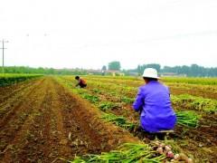 河南杞县:力保大蒜产业稳定高质量发展,丰收在望!