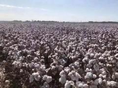 """昌吉农业园区:""""良种+良法""""生产优质棉花,带动群众致富"""