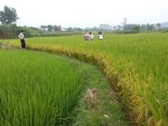 湖南省农业农村厅对道县早稻生产示范片进行田间测产验收,实现增产