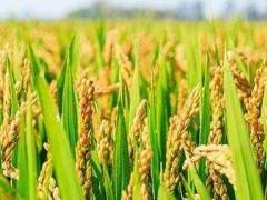 福建仙游县提升机械覆盖率,水稻喜迎大丰收